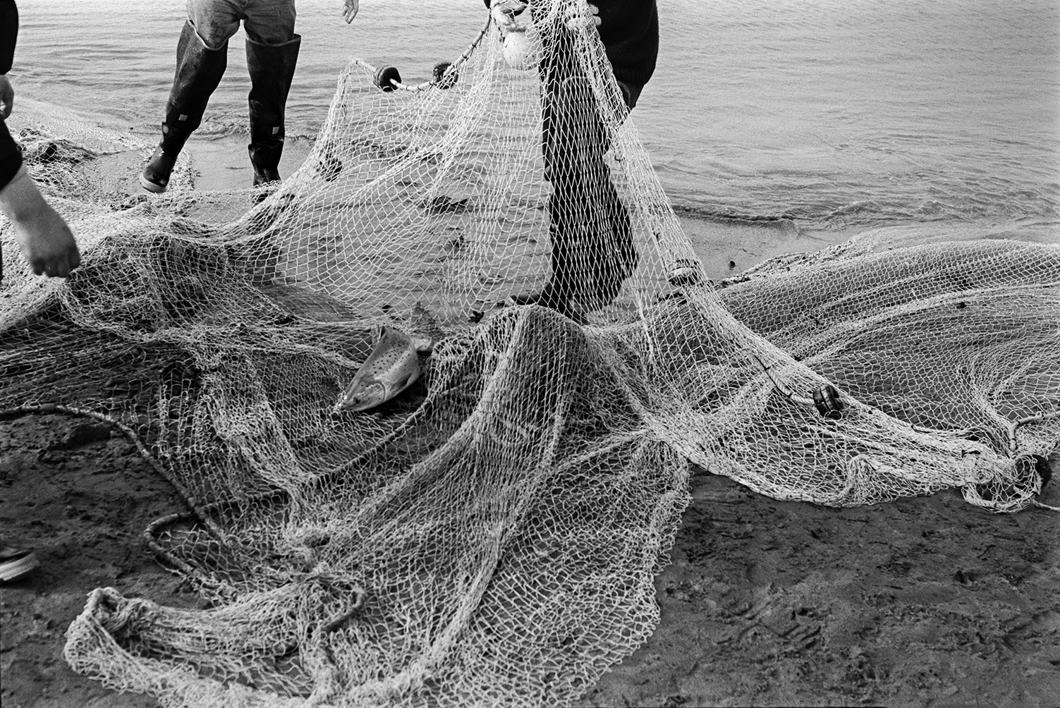 Men hauling in a large fishing net, possibly at Appledore. A salmon can be seen in the net.