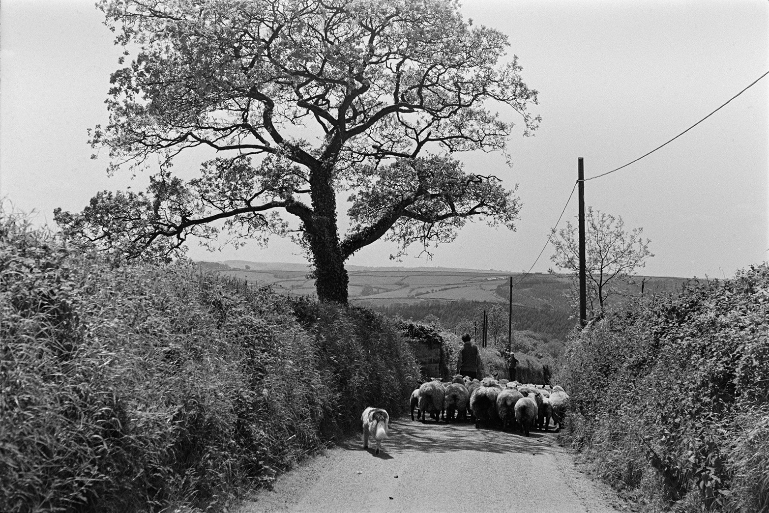 Ivor Bourne leading a small flock of sheep along a lane in Beaford.