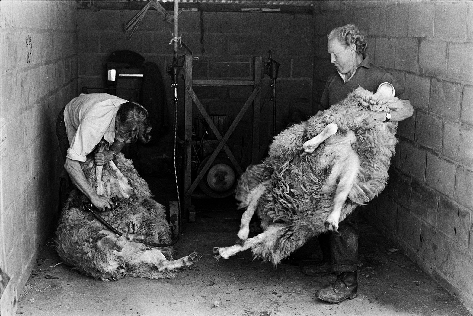 Ivor Bourne and another man shearing sheep, using a shearing machine, in a barn at Mill Road Farm, Beaford. The farm was also known as Jeffrys.