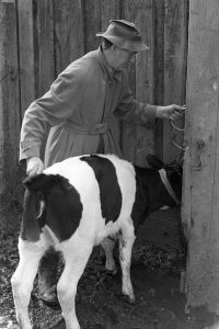 Keith Allin moving a calf by James Ravilious