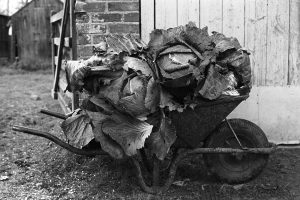Wheel-barrow loaded with cabbages by James Ravilious