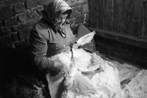 Mrs Doris Allin plucking a goose for Christmas dinner by James Ravilious