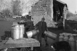 Farmer moving milk churns