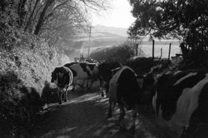 Frank Pickard taking cows to be milked by James Ravilious