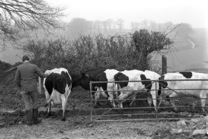 Farmer with milking herd by James Ravilious