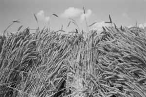 Corn stook by James Ravilious