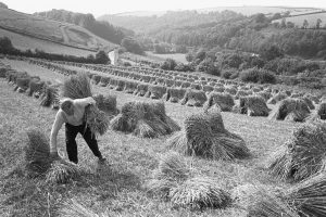 Wilfred Pengelly setting up stooks by James Ravilious