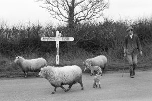 Les Manning moving sheep by James Ravilious