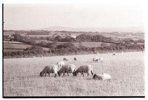 Landscape with sheep by James Ravilious