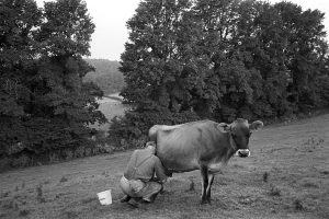 Wilfred Pengelly milking a Jersey cow by James Ravilious