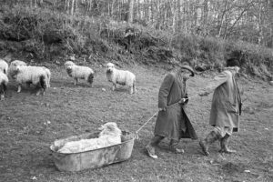 Archie Parkhouse and Ivor Brock moving a sick ram by James Ravilious