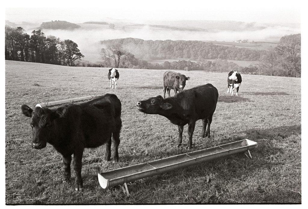 Bullocks mooing