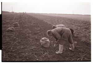 Picking potatoes by James Ravilious