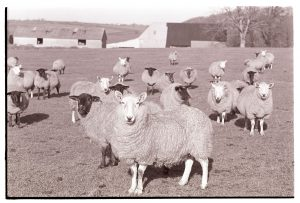 Sheep at Parsonage Farm by James Ravilious