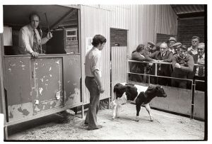 Calf being auctioned at market by James Ravilious
