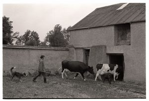 Cows in farmyard by James Ravilious
