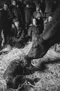 Cow and calf shortly after birth by James Ravilious
