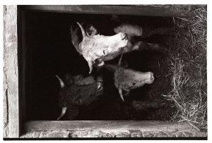 Horned bullocks by James Ravilious
