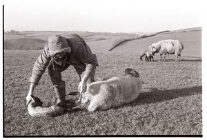 Graham Ward delivering a lamb by James Ravilious
