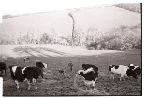 David Ward feeding hay to bullocks by James Ravilious