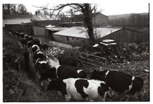 Cows coming in to be milked by James Ravilious