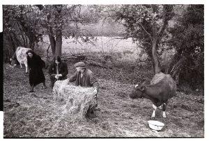 Ivor Brock feeding cattle by James Ravilious