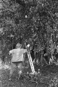 Archie Parkhouse and Alf Pugsley cutting holly by James Ravilious
