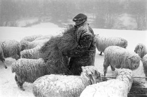 Ivor Brock feeding sheep in a blizzard by James Ravilious