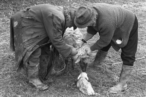 Archie Parkhouse and Ivor Brock delivering a lamb by James Ravilious
