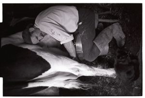 Milking cow by hand for home consumption by James Ravilious