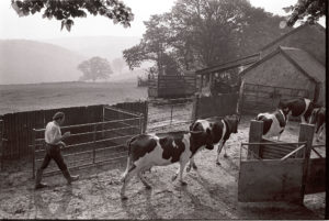 Bringing cows in to be milked by James Ravilious