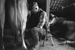 Gordon Sanders milking by James Ravilious