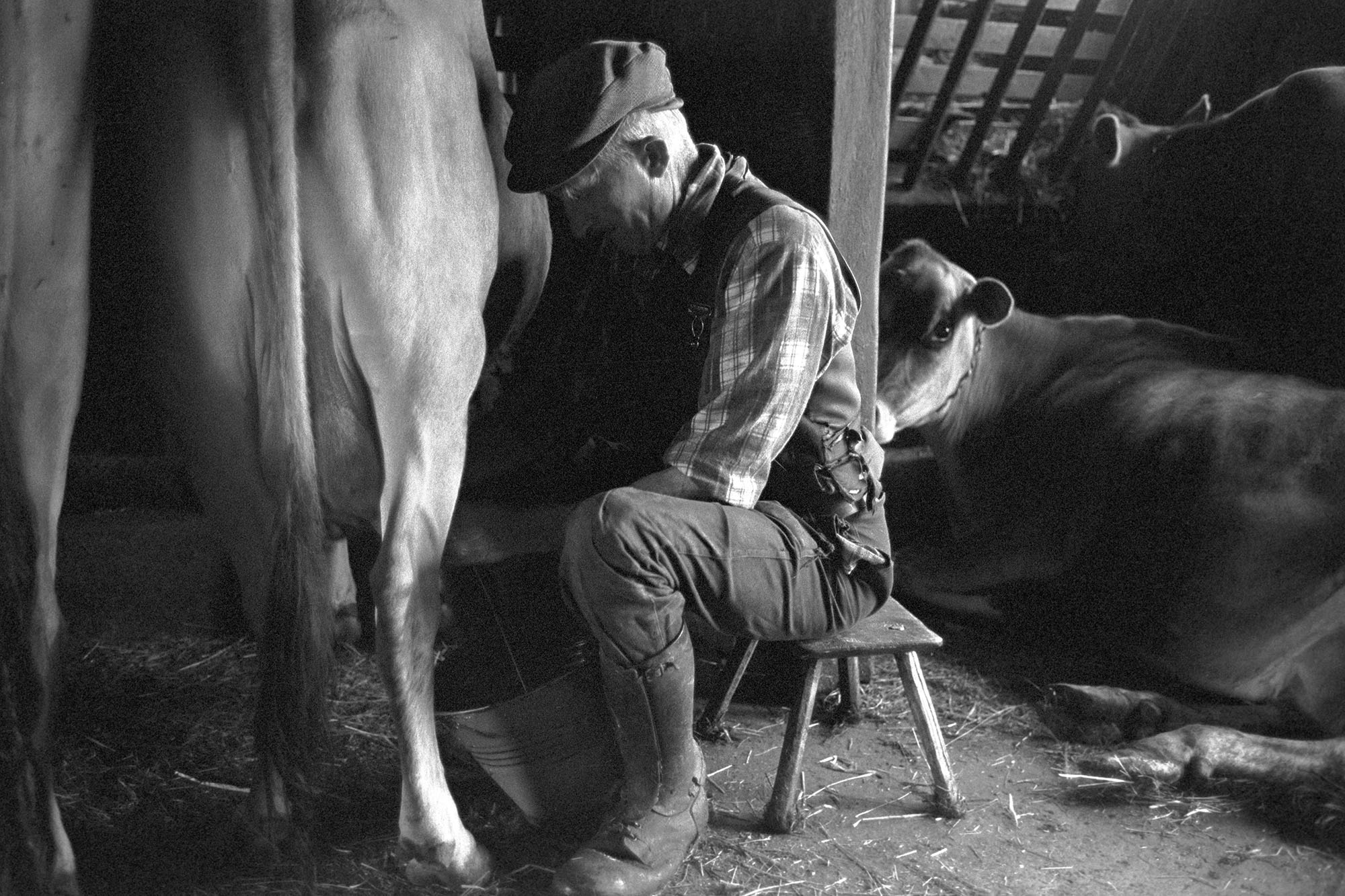 Farmer milking cow by hand.<br /> [Gordon Sanders sitting on a stool milking a cow by hand, at Reynards Park, Ashreigney. Two other cows are in the next stall in the milking parlour.]