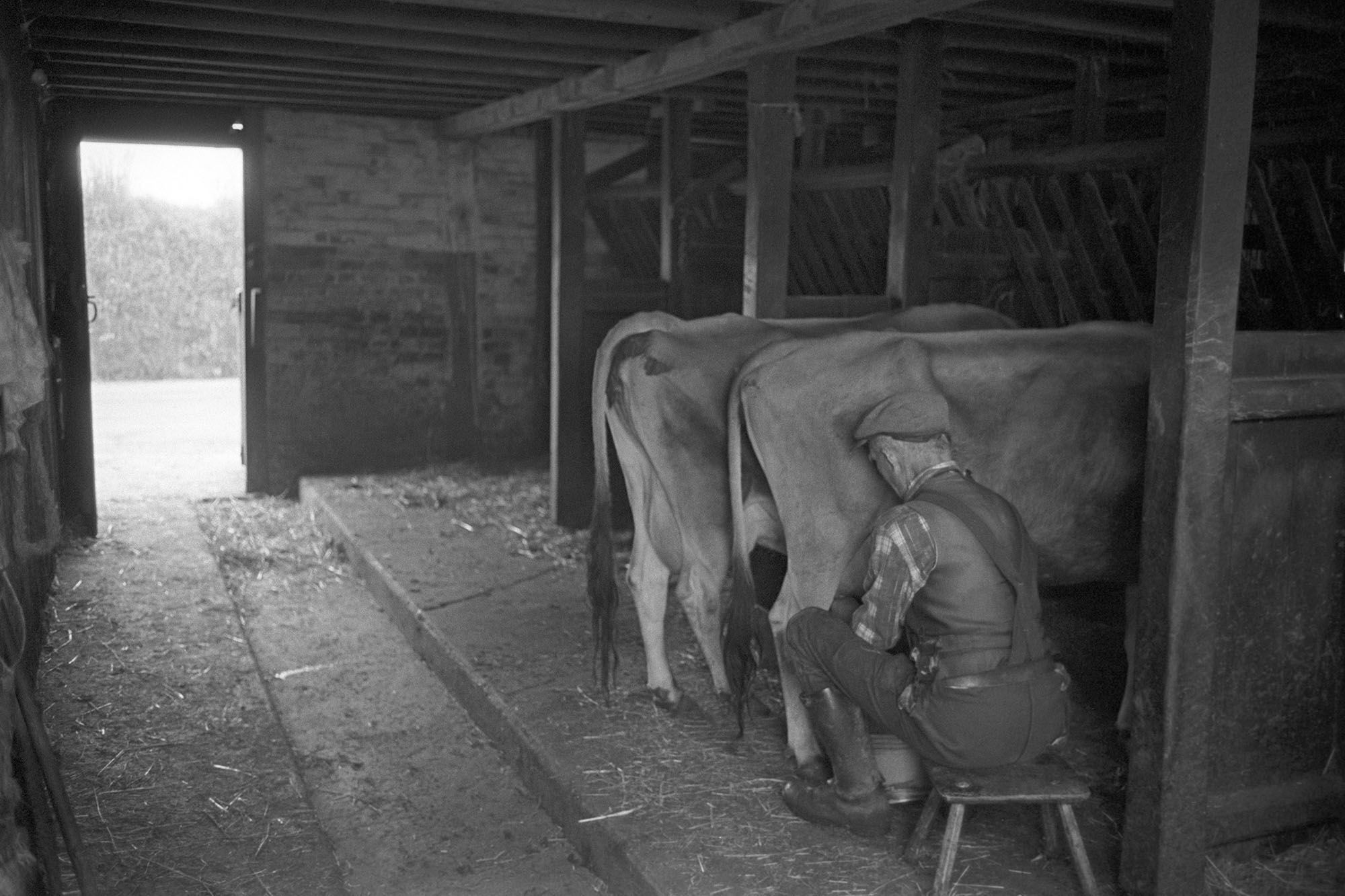 Farmer milking cow by hand.<br /> [Gordon Sanders sitting on a stool milking a cow by hand at Reynards Park, Ashreigney. Another cow is also stood in the milking parlour.]