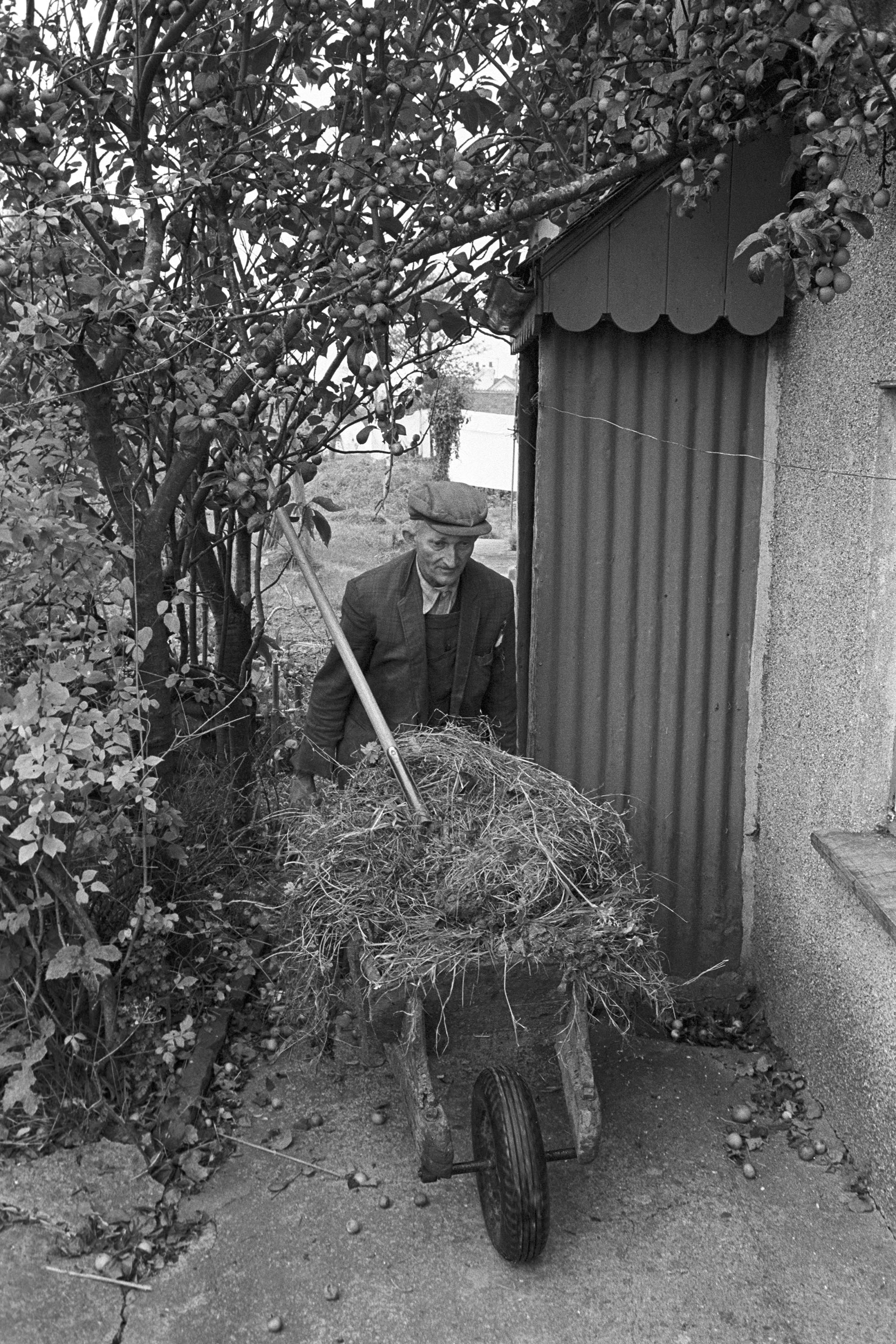 Farmer carrying muck to his garden in wheelbarrow. <br /> [Gordon Sanders pushing a wheelbarrow of muck or dung into his garden at Reynards Park, Ashreigney. He is passing a fruit tree, possibly a plum tree.]