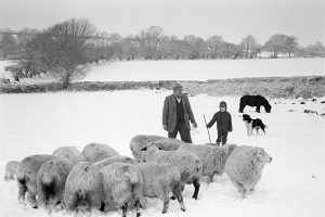 Frank Pickard feeding sheep by James Ravilious