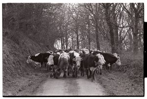 Bullocks near Kingscott by James Ravilious