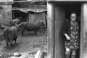 Olive Bennett with her Red Devon Cows