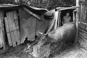 Cyril Bennett with one of his Red Devon Cows by James Ravilious