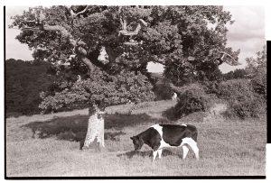 Cow beside oak tree by James Ravilious