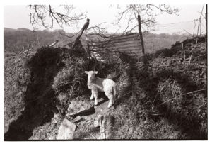 Lamb on a hedgebank by James Ravilious