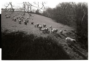 Sheep going through a gate by James Ravilious