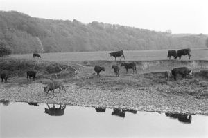 Cattle beside the River Torridge by James Ravilious