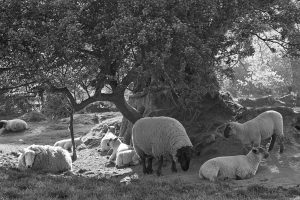 Sheep resting in the heat of May by James Ravilious