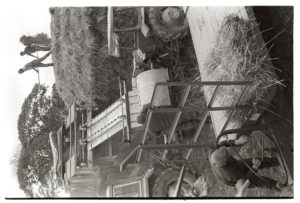 Reedcombing at Westacott by James Ravilious