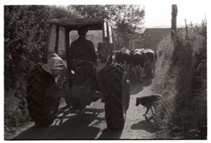 Norman Lock driving cows to be milked by James Ravilious
