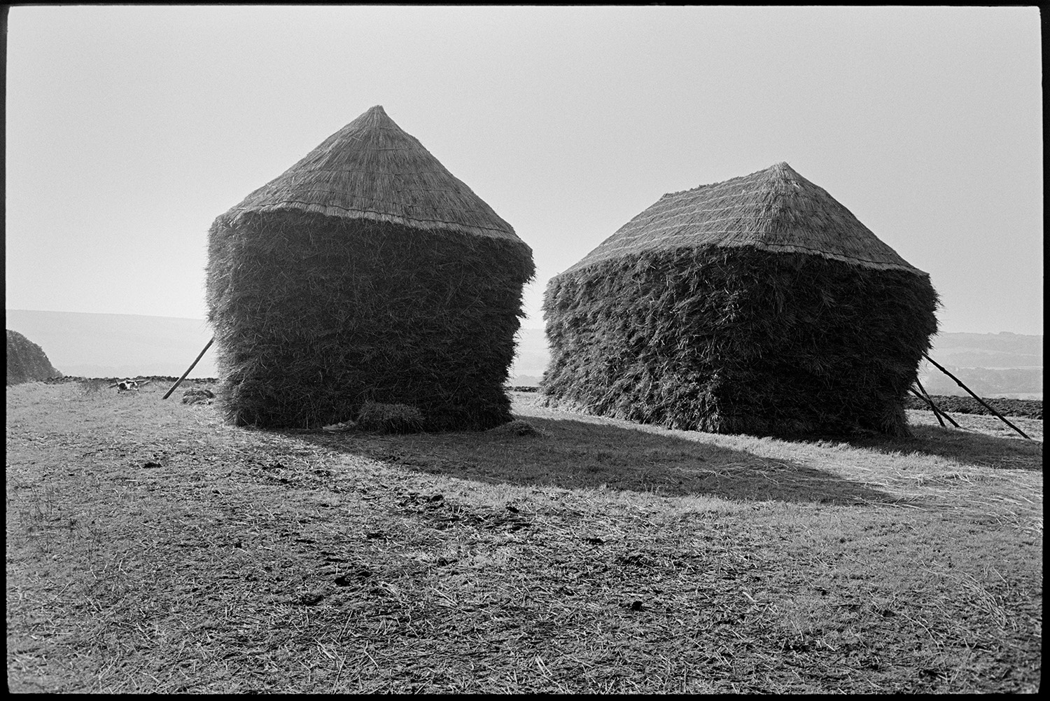 Two wheat ricks, early light. <br /> [One round and one square wheat rick in a field near Winkleigh, in the early morning. Both ricks are thatched and have branches propped against them.]