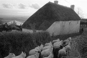 Thatched cottage with passing sheep by James Ravilious
