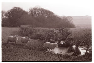Sheep moving through a broken hedge by James Ravilious