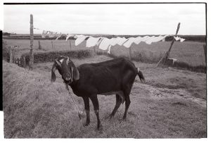 Goat and washing line by James Ravilious